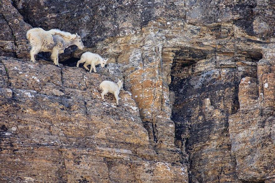 """Sốc với thuật """"khinh công"""" của những chú dê núi"""