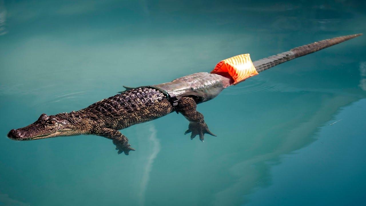 Stubbs, con cá sấu đầu tiên trên thế giới có chiếc đuôi giả