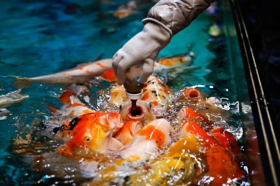 Đây là cách mà người ta cho cá ăn ở các hồ cá