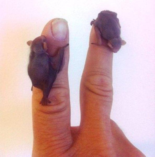 Một chú dơi con chỉ bé bằng đầu ngón tay và nhìn xinh hơn nhiều so với khi chúng đã lớn.