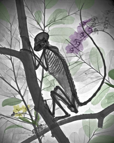 Chú dơi này nhìn vẫn rất đáng sợ khi soi dưới tia X với phần nổi bật nhất là tay và chân rất dài. Tay của chuột chũi có vẻ lớn hơn rất nhiều so với các bộ phận khác trên cơ thể nó. Nếu bỏ qua phần đuôi, chú khỉ này trông chẳng khác nào một người đang trèo cây