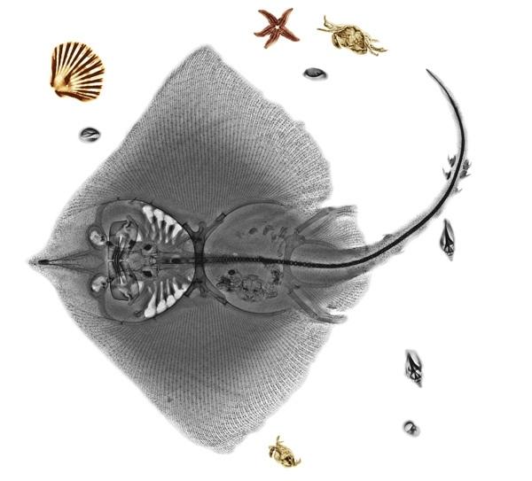 """Cơ thể bên trong cá đuối phức tạp hơn nhiều so với vẻ ngoài đơn giản của nó. Không nên đụng vào cá kiếm nếu bạn đã từng nhìn thấy chúng khi được soi dưới tia X quang. Tất nhiên, điểm nổi bật nhất chính là """"cây kiếm"""" dài với những chiếc răng nhọn."""