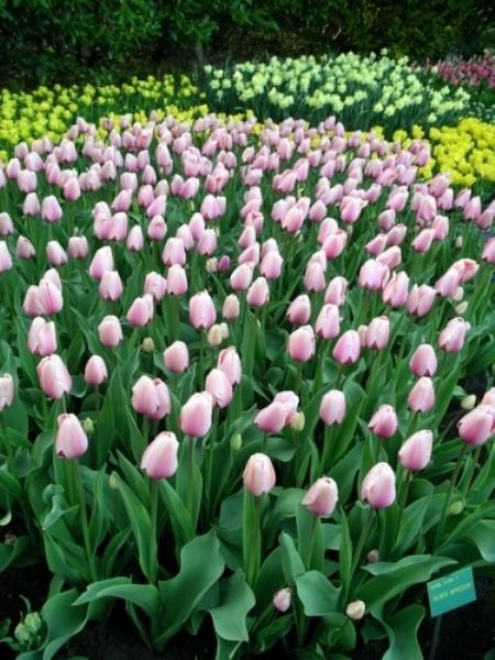 Say đắm trước vườn hoa lớn nhất châu Âu với hơn 7 triệu hoa tulip