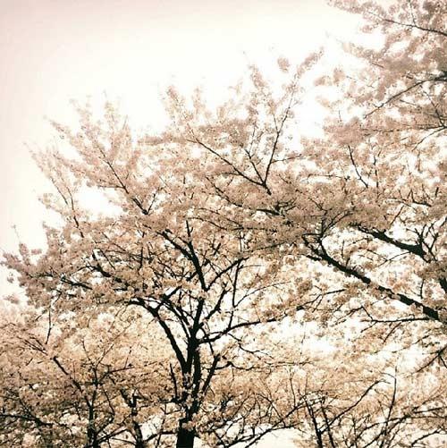 Taeyeon đăng hình mùa xuân ở Seoul