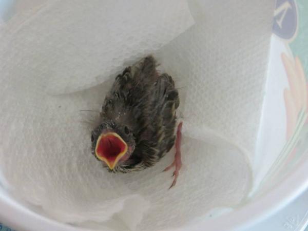 """Hành trình """"36 ngày kỳ diệu"""" cứu sống chú chim bé nhỏ"""