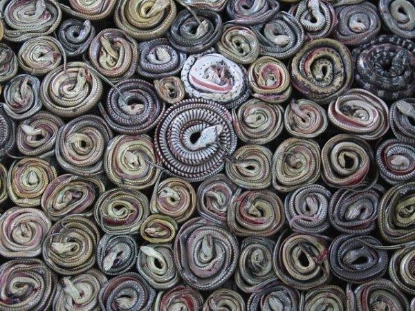 Đủ các loại rắn được thu gom lại sau đó chuyển đến một cơ sở chuyên làm rắn tại làng Kertasura, Cirebon, Indonesia. Tại đây chúng sẽ được phân loại thành những sản phẩm riêng và bán cho các địa điểm có nhu cầu. Chẳng hạn da rắn sẽ được bán cho các nhà máy sản xuất túi ở các tỉnh miền Tây và Trung Java.