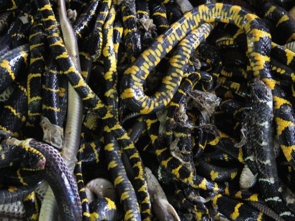 l Khu giết mổ rộng hàng trăm mét nên có thể tiếp nhận số lượng lớn rắn được chuyển đến.