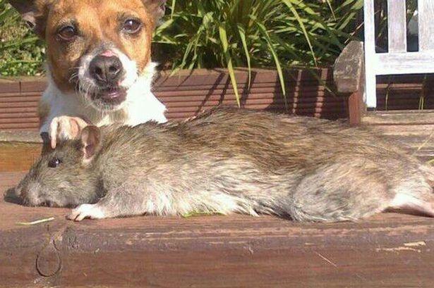 Con chuột khổng lồ mới được phát hiện. (Nguồn: mirror.co.uk)