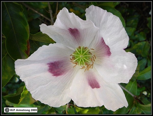 Cảnh báo những bông hoa cực đẹp nhưng lại chứa chất độc chết người