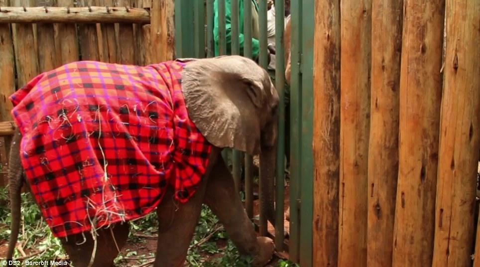 Một vài trong số 30 chú voi mồ côi khác tại vườn ươm đã chào đón và an ủi khi voi con Sokotei của chúng ta xuất hiện.