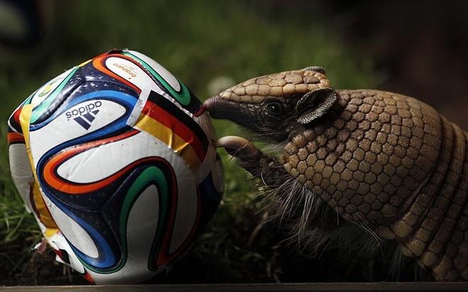"""Một con tatu, linh vật của World Cup năm nay, chọn Đức là đội chiến thắng trong trận gặp Bồ Đào Nha. """"Lễ dự đoán"""" được tổ chức tại vườn thú Muenster tại Đức."""