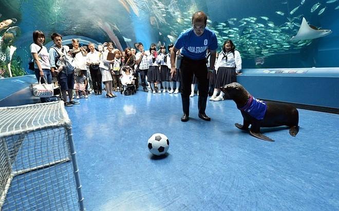 Viện hải dương học Shinagawa, Tokyo, Nhật Bản huấn luyện sư tử biển chơi bóng đá chào mừng World Cup.