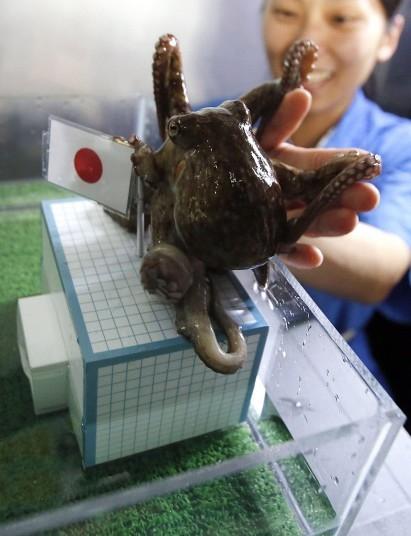 Không may mắn như Regina, chú bạch tuộc Hacchan của Viện Shinagawa, Tokyo chọn Nhật Bản chiến thắng trong trận gặp Bờ Biển Ngà. Kết quả hoàn toàn ngược với dự đoán: Bờ Biển Ngà thắng 2-1.