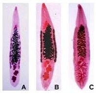 Sán lá gan nhỏ - ảnh Viện Sốt rét Ký sinh trùng, côn trùng trung ương