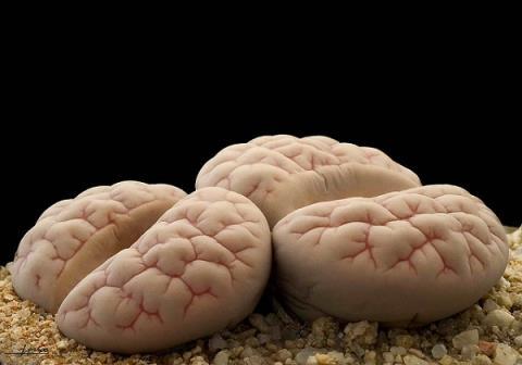 Một số cây hoa có hình não người độc đáo