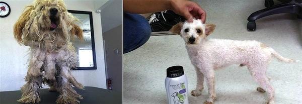 Ngắm những chú chó được thay đổi ngoại hình 180 độ