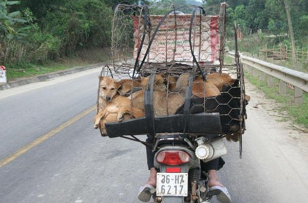 Hình ảnh những con chó bị nhốt vào lồng chở đi tiêu thụ rất phổ biến ở nhiều nước châu Á.
