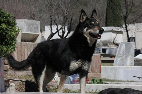 Chú chó Capitan tại nghĩa trang nơi chôn cất ông chủ