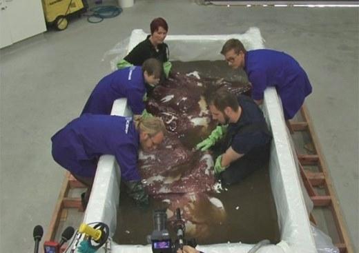 Cận cảnh con mực khổng lồ nặng 350kg ở New Zealand