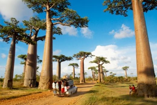 Ấn tượng đại lộ cây baobab biểu tượng xứ Madagascar