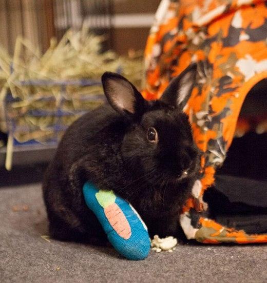 Chú thỏ may mắn được người chủ tặng một miếng bó bột rất dễ thương