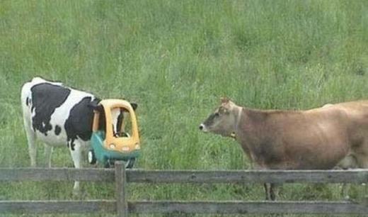 Chú bò sữa thích lái ô tô