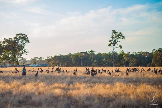 Đàn Kangaroo - Biểu trưng của nước Úc