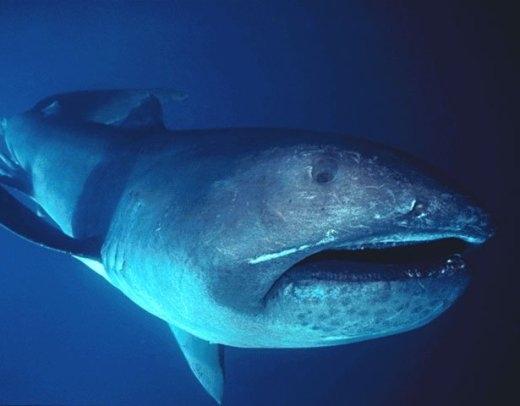 Những loài cá mập quái dị nhất đại dương