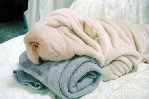 Đâu là chú chó và đâu là chiếc khăn?