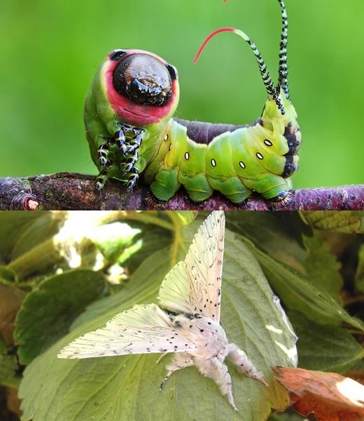 Xem khác biệt thú vị giữa sâu và bướm trưởng thành