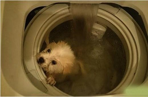 """Bên dưới bức ảnh cho thấy chú chó trắng đang bị quay vòng trong lồng giặt, thanh niên này viết: """"Một cách siêu nhanh để giặt chó: ngâm, giặt sạch và làm khô""""."""