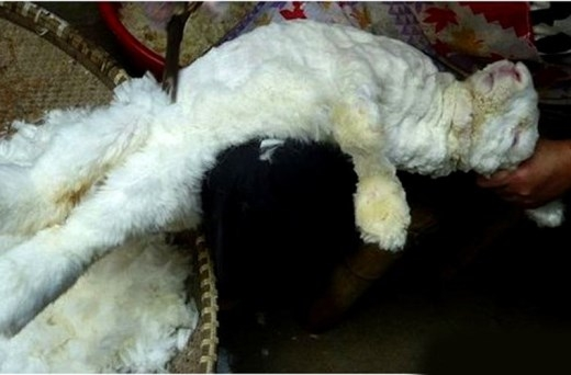 Các xưởng may gia công ở Trung Quốc bị cáo buộc cạo lông thỏ để lấy nguyên liệu sản xuất quần áo theo cách vô cùng tàn nhẫn. Điều này khiến một số hãng thời trang tuyên bố dừng sản xuất các sản phẩm sử dụng lông thỏ. Lông thỏ được ưa chuộng bởi tính chất mềm, nhẹ và ấm hơn hẳn len, giá thành lại rẻ hơn các loại lông động vật khác. Thế nhưng, đằng sau những sản phẩm thời trang lông thỏ là sự ngược đãi dã man động vật này.