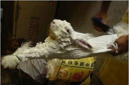 Để nhổ lông thỏ mà không gây hại cho chúng, các cơ sở nuôi thỏ ở Anh phải mất 2 tuần cho lông mềm ra, và khoảng 1 giờ để nhổ bớt lông.