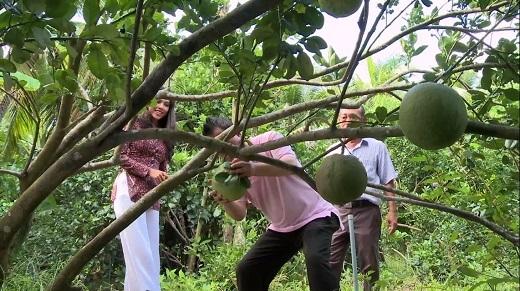 Martin Yan tham quan vườn cây trồng bưởi