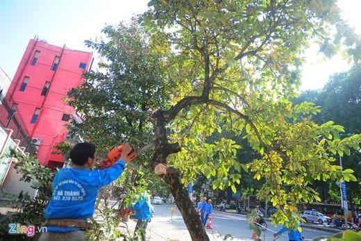 Tương tự, tại phố Nguyễn Thái Học, đoạn từ ngã ba Kim Mã - Sơn Tây - Nguyễn Thái Học đến ngã ba Nguyễn Thái Học - Đình Ngang các đơn vị sẽ thay thế, di chuyển 149 cây (chặt hạ 144 cây, di chuyển 5 cây).