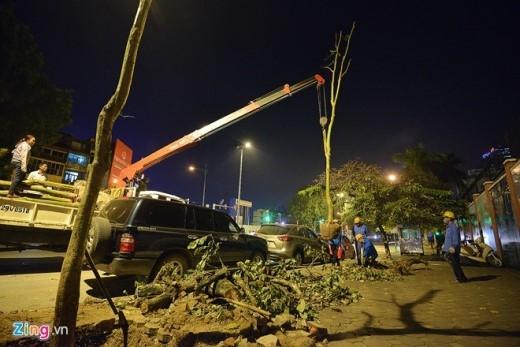 Việc trồng lại cây được làm theo hình thức cuốn chiếu. Ban đêm cơ quan chức năng tiến hành trồng thay thế cây mới.