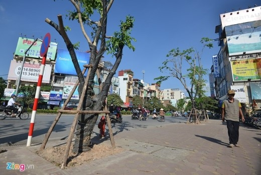 Trước đó, Thành phố đã tiến hành trồng mới thay thế hàng loạt cây trên đường Kim Mã (phía trước nhà hát Kim Mã).