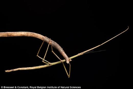 Phryganistria heusii yentuensis có hình dáng giống nhánh cây hơn là que, với chiều dài thân 32 cm và sải chân 54 cm.
