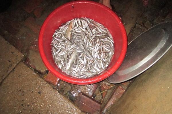 Mẻ cá thầy Quyết cùng các thầy giáo trong trường kéo được. Ảnh Nguyen Tien