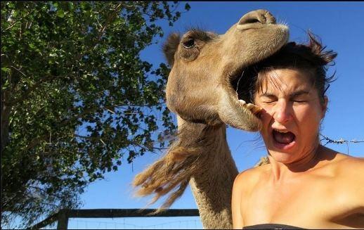 Một chú lạc đà cũng mê trào lưu chụp hình tự sướng...