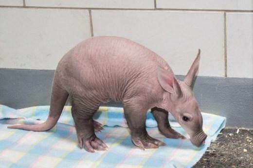 Những chú lợn đất Châu Phi có mõm dài, tai thỏ, đuôi Kangaroo...được xem là loài vật xấu xí.