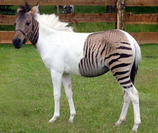 Ngựa lai ngựa vằn