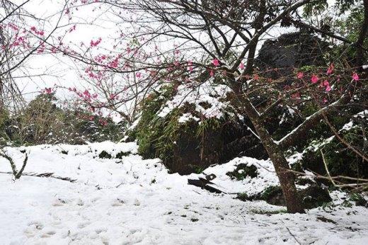 Điểm xuyến trên nền tuyết trắng là màu hồng rực rỡ của hoa anh đào - một trong những điểm thu hút khác của Sa Pa.