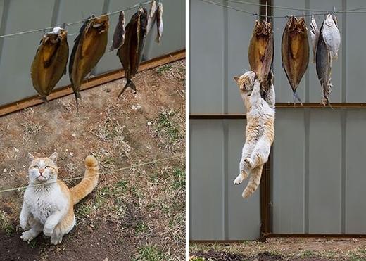 '1,2,3 - Không gì có thể ngăn cản mèo đến với đồ ăn cả'