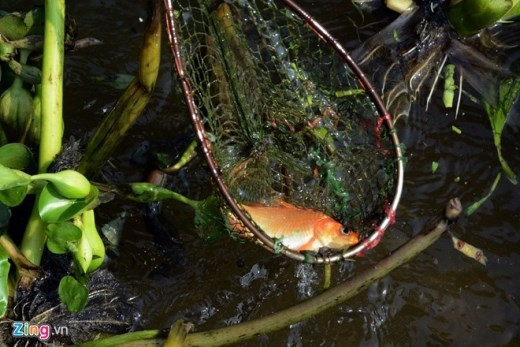 Những người vớt cá này cho biết, số cá vớt được họ sẽ mang lên bờ bán lại cho người mua phóng sinh, đem về nuôi lớn rồi bán, hoặc các loại cá như cá rô, cá lóc... thì dùng để ăn.