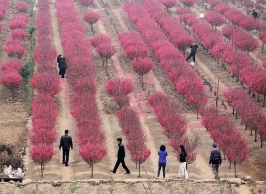 Làng Nhật Tân trồng nhiều nhất các loài đào bích, đào thất thốn, đào thế, đào phai, thậm chí là đào rừng cũng xuất hiện lác đác ở một vài vườn.
