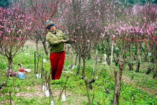 Những vườn trồng xen hai loại đào phai và đào thắm tạo nên hai loại màu luôn hấp dẫn du khách hơn cả.