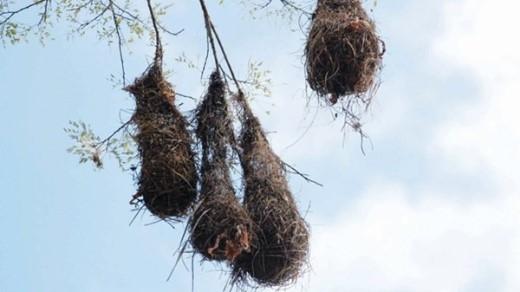 Tổ chim treo bên sông Amazon.