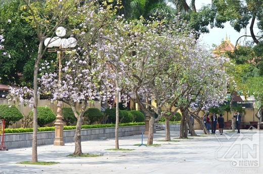 Người dân chỉ có thể đứng ngắm hoa ban từ xa, sau lớp hàng rào.