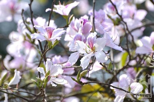 Hoa ban đem sắc xuân đến báo hiệu một năm mới thành công.